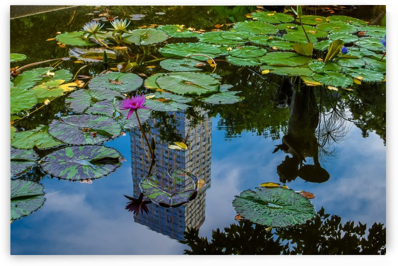 Central Park Lily Pond Reflection  by vincenzo