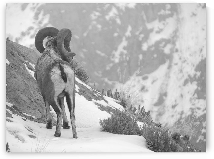 bwsheep by Nathan French Photography