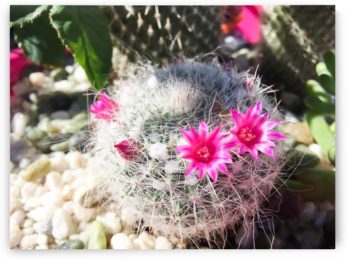 cactus in the desert with beautiful blooming pink flower by TimmyLA