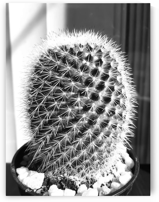 closeup cactus texture with morning sunlight in black and white by TimmyLA