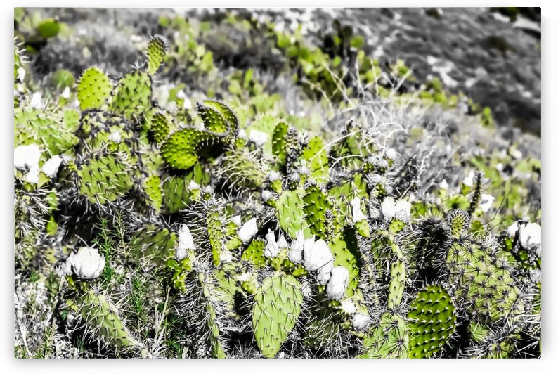 texture of the green cactus with white flower in the desert  by TimmyLA
