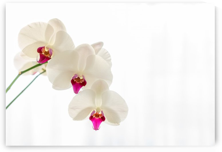 Orchid on white. by Pétur Reynisson