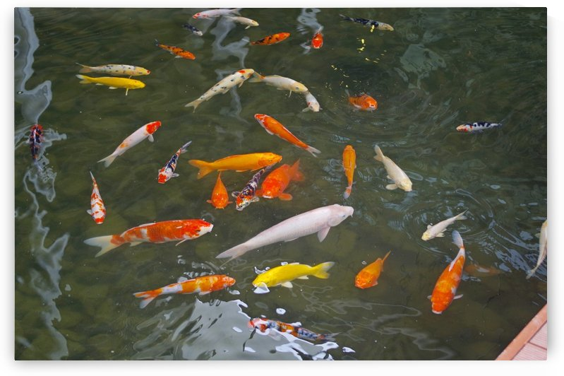 Ornamental Fish. by Alan Skau