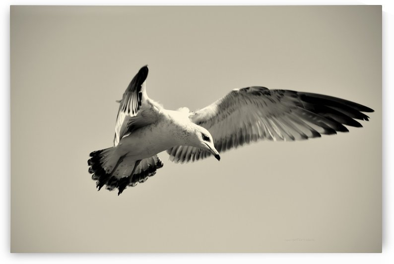 Gull in Flight #7 by Daulby