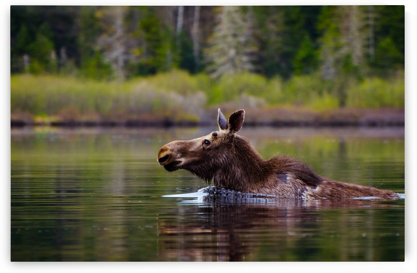 Moose crossing the lake by Sebastien Girard