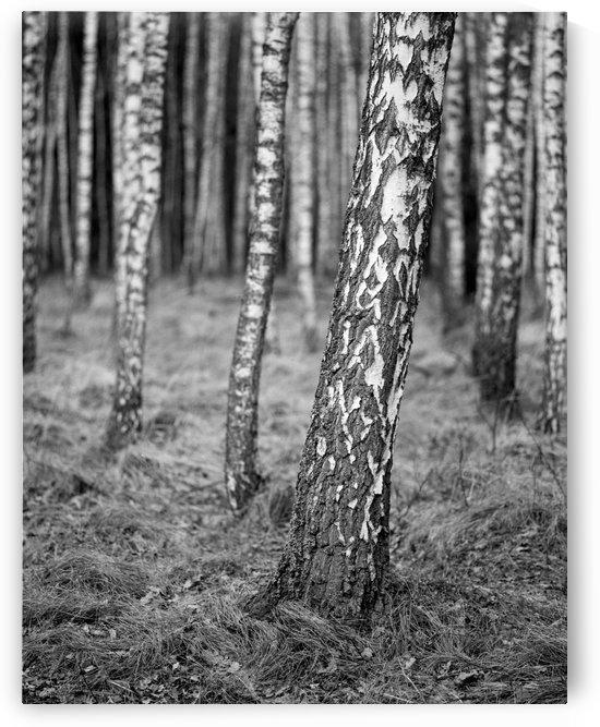 The Birches by Marcin Lukaszewicz