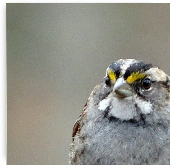 Winter White-Throated Sparrow by Greene Safaris Productions