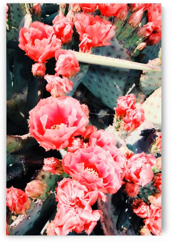 closeup blooming red cactus flower texture background by TimmyLA
