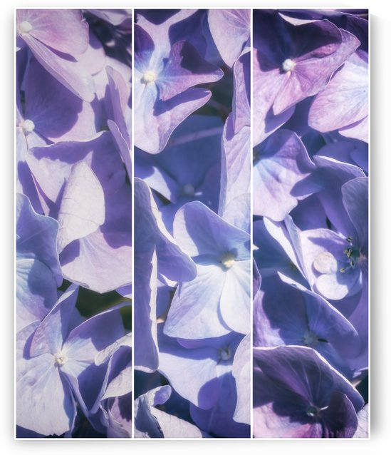 Lavender Hydrangea Triptych by SharaLee Art