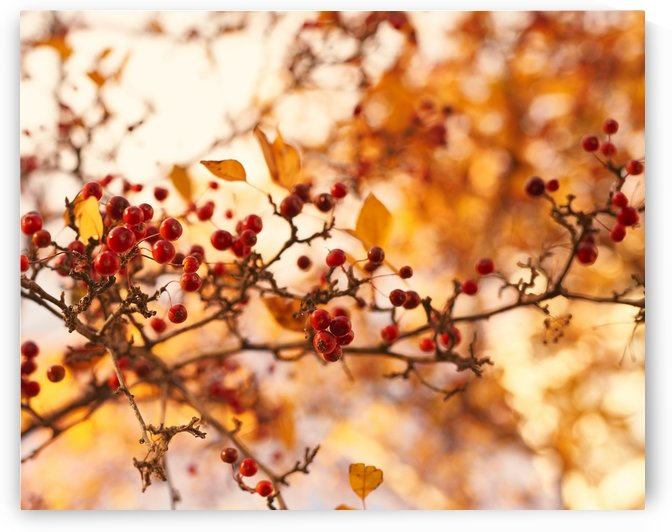 Winterberries in golden light by Alexandra Draghici