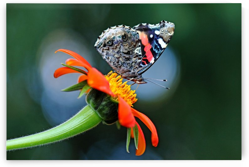Red Admiral In The Spotlight by Deb Oppermann