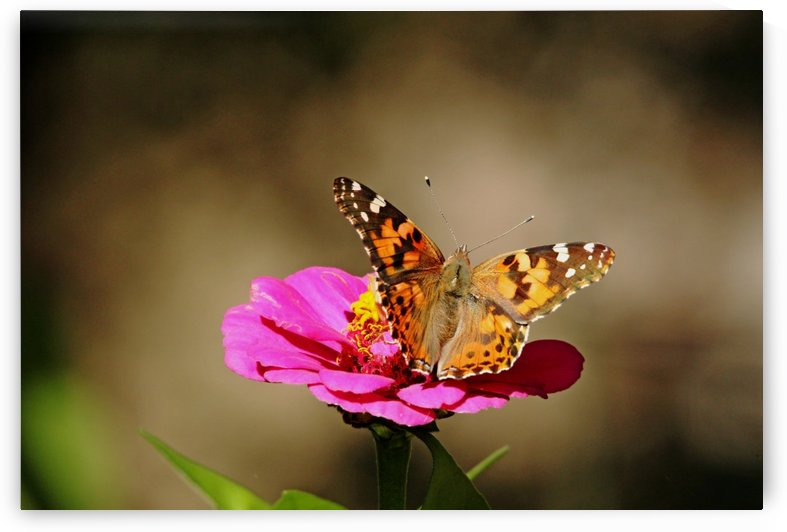 Painted Lady by Deb Oppermann