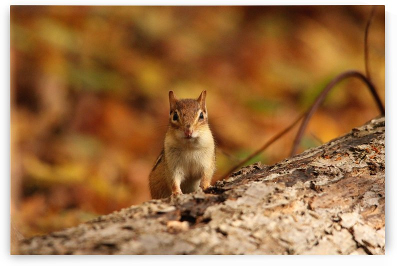 Chipmunk In Autumn by Deb Oppermann