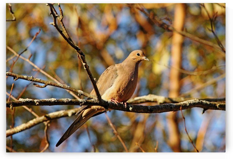 Golden Mourning Dove In Autumn by Deb Oppermann