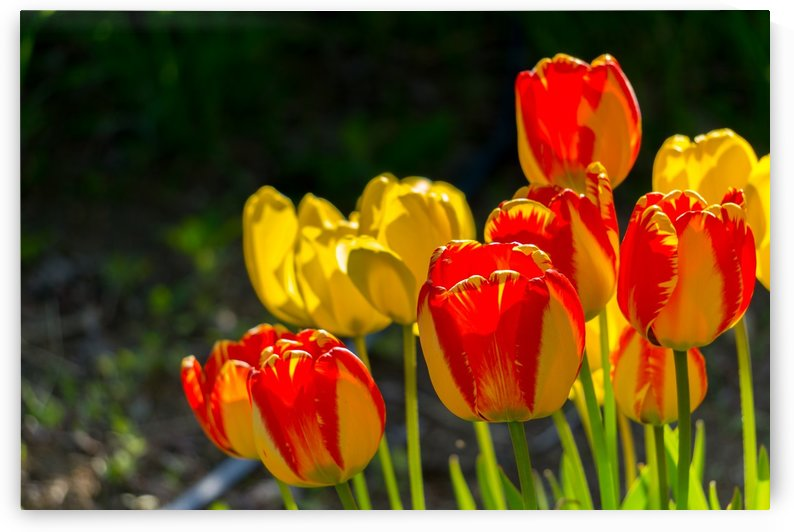 TULIPS FOR..... by OPTIC CANVAS
