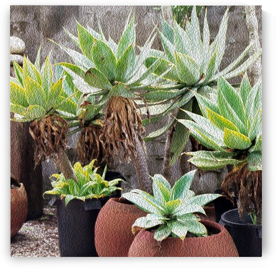 Potted Agave Plant by Hold Still Photography