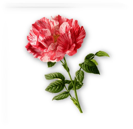 rose by Stock Photography