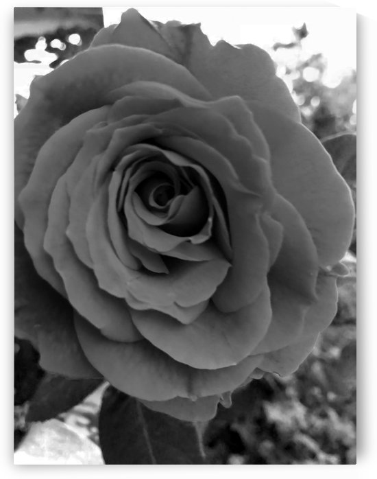one love one rose by Michael Trego