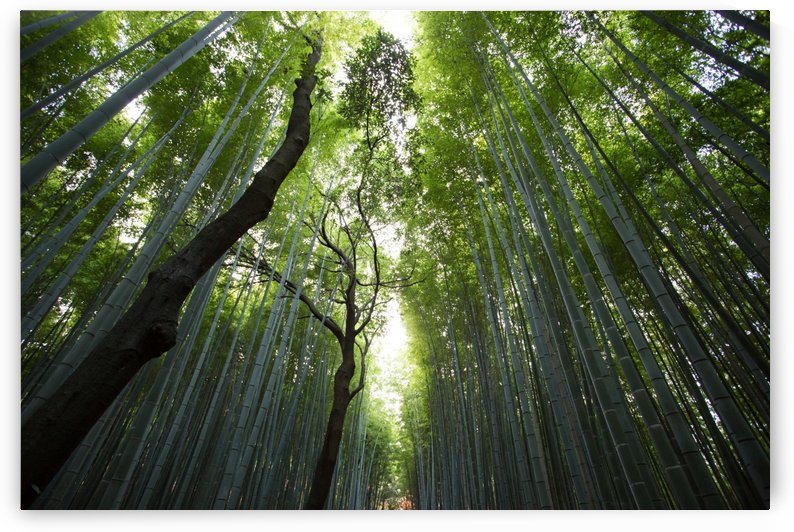 Bamboo Forest by Stockpix