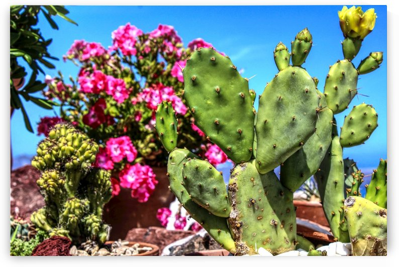 Cactus and colourful Flowers by Bentivoglio Photography