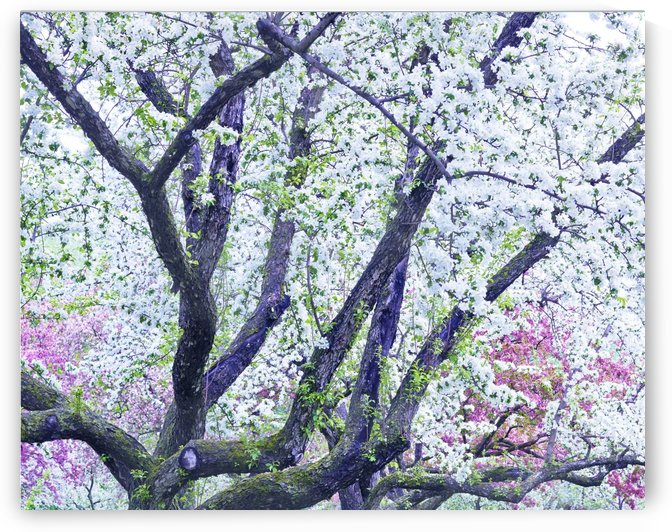 Cherry tree flowers by Alexandra Draghici