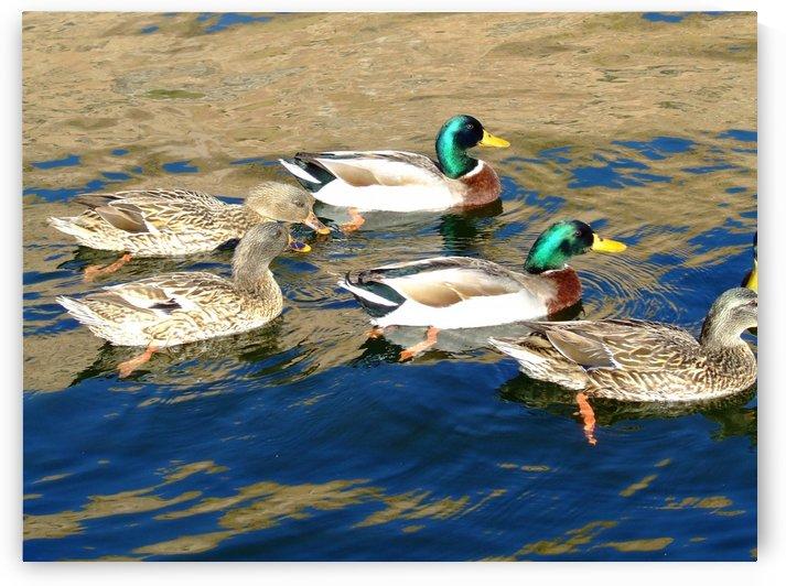 Ducks on Saguaro Lake  by Darryl Green