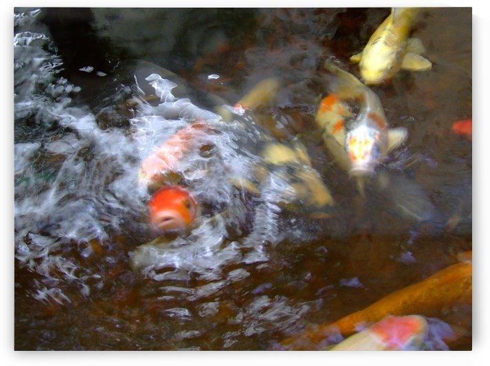 koi fish by Darryl Green