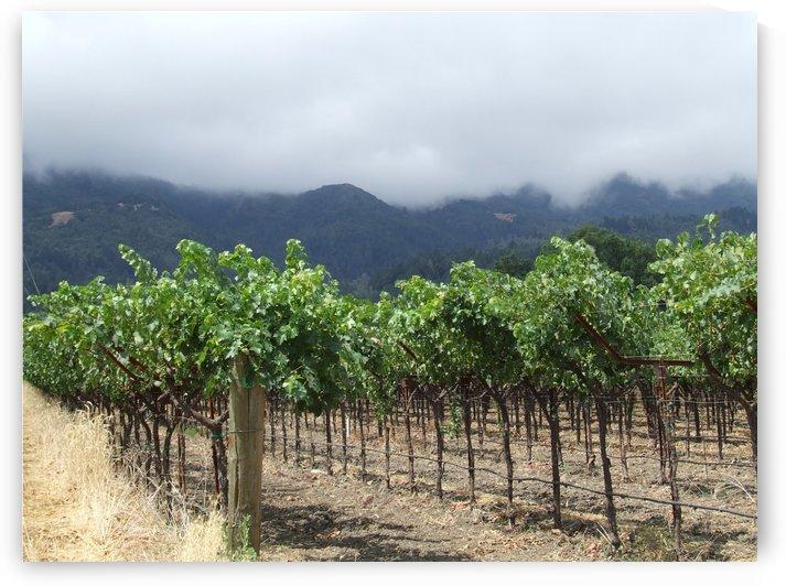 Napa Califoria Grape Vines summer 2007  by Darryl Green