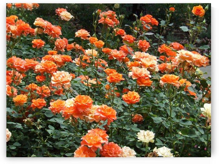 Orange Flowers Growing in Napa Califoria  by Darryl Green