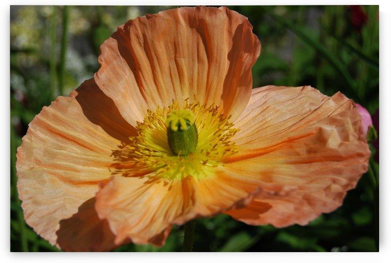 A Poppy Flower Growing by Darryl Green