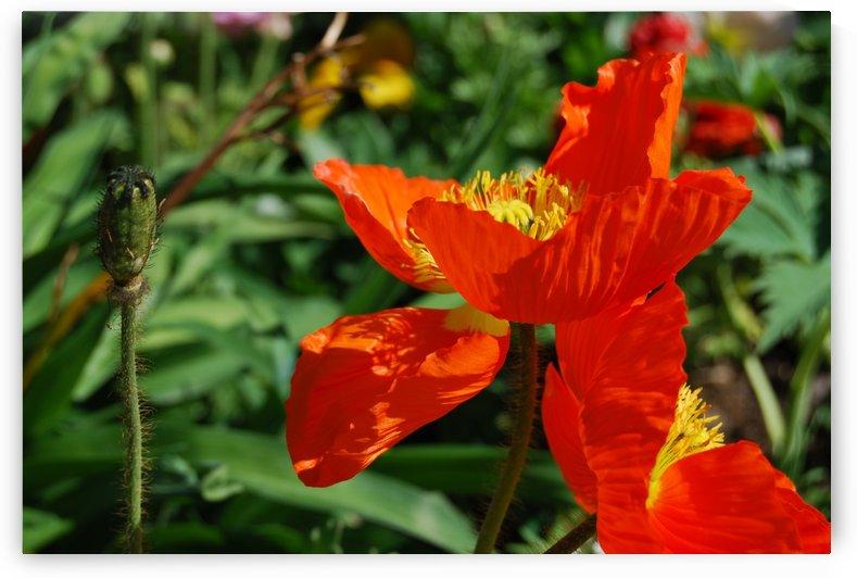 Orange Poppy Flowers Growing by Darryl Green