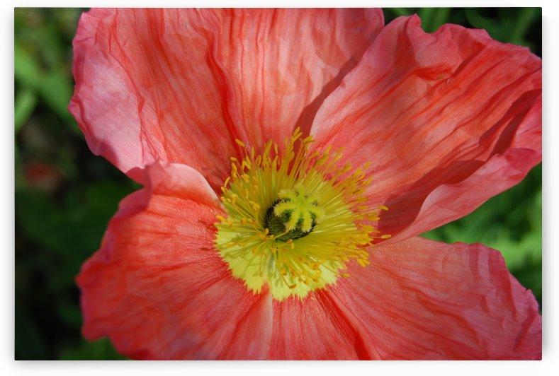 Poppies Growing in A Garden by Darryl Green