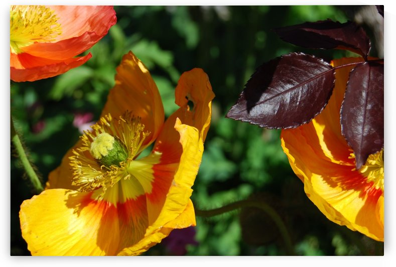 Yellow Poppies Growing in a Garden by Darryl Green