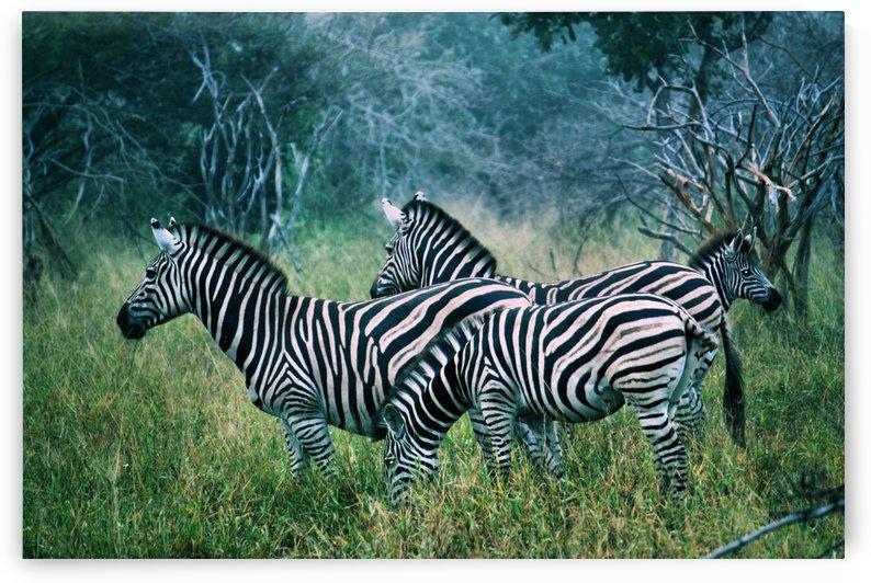 Zebras 1 by D de G
