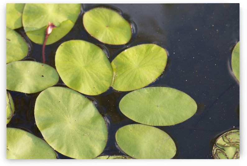 Lily Pads by Zikia Smith