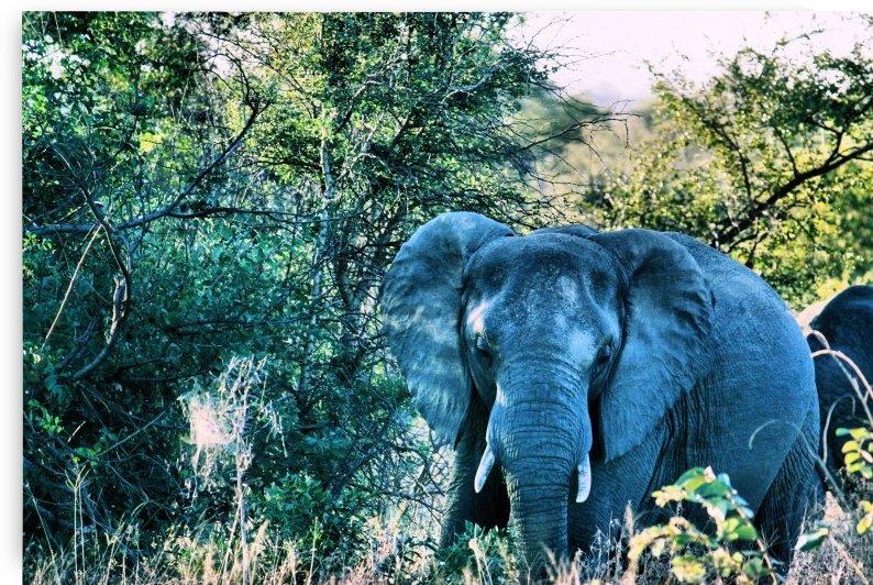 Elephant by D de G