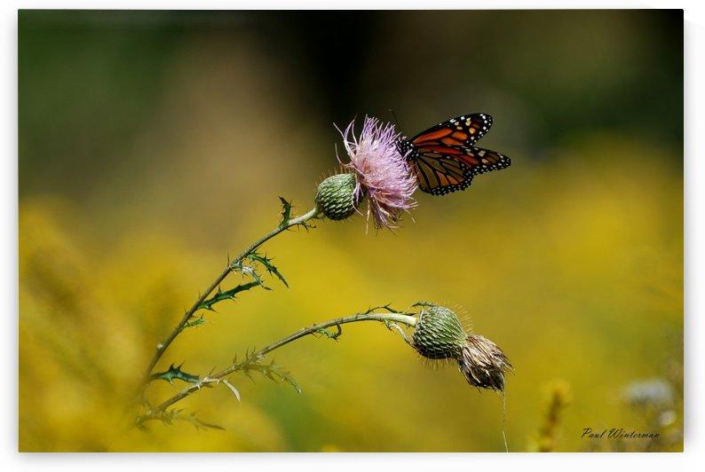 0017- Monarch Meal by Paul Winterman