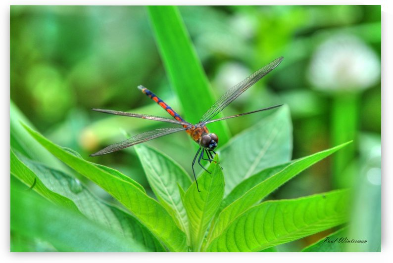 12-4 Orange Dragonfly by Paul Winterman