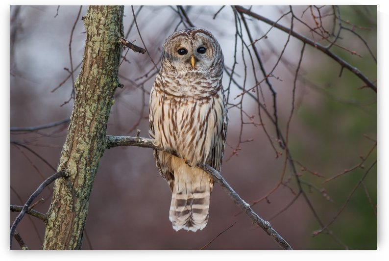 Barred Owl at sunrise. by Michel Soucy