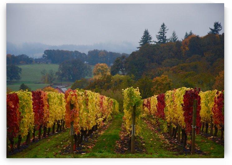 Syrah Vines by Robin Buckley