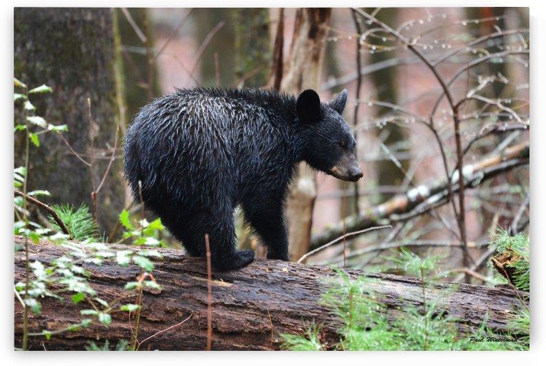 251-Cub on a Log by Paul Winterman