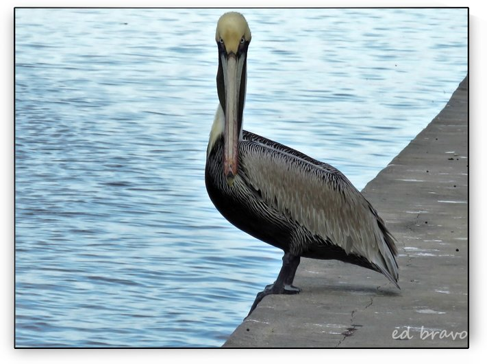 pelican looking at us by Ed Bravo