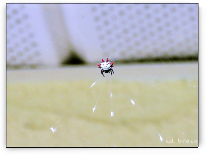 Spider by Eduardo Bravo