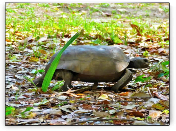 tortoise by Eduardo Bravo