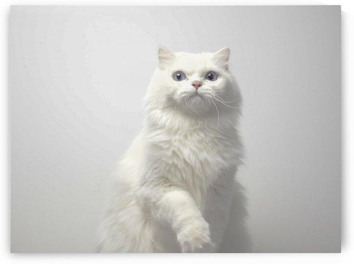 cat by MENG LU