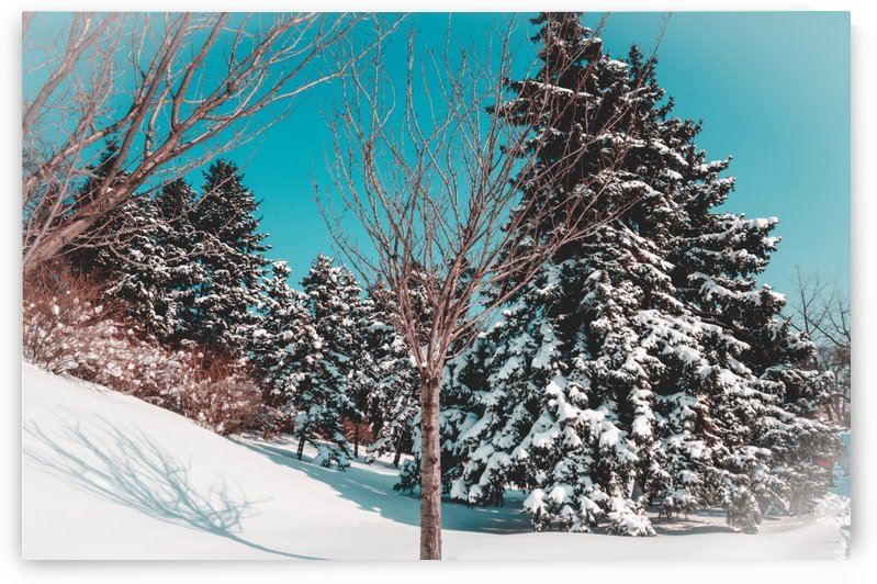 Snowy Pine Trees by Ann Romanenko