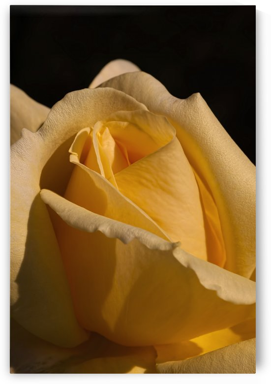 Yellow Rose Close up Single Black Background A010601_1406644 by Maxwell Jordan