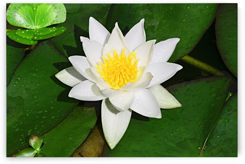 White and Yellow Lilly with Green Lilly Pads Single B010600_1007125 by Maxwell Jordan