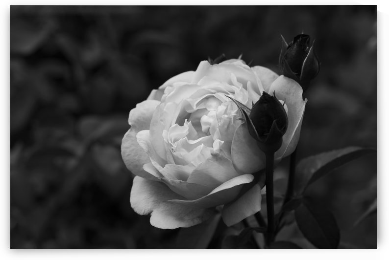 Black and White Single Rose A010601_1415332 by Maxwell Jordan