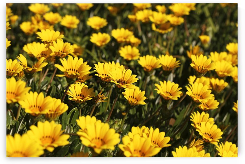 Bed of Yellow Osteospermum Flowers B010600_1113669 by Maxwell Jordan